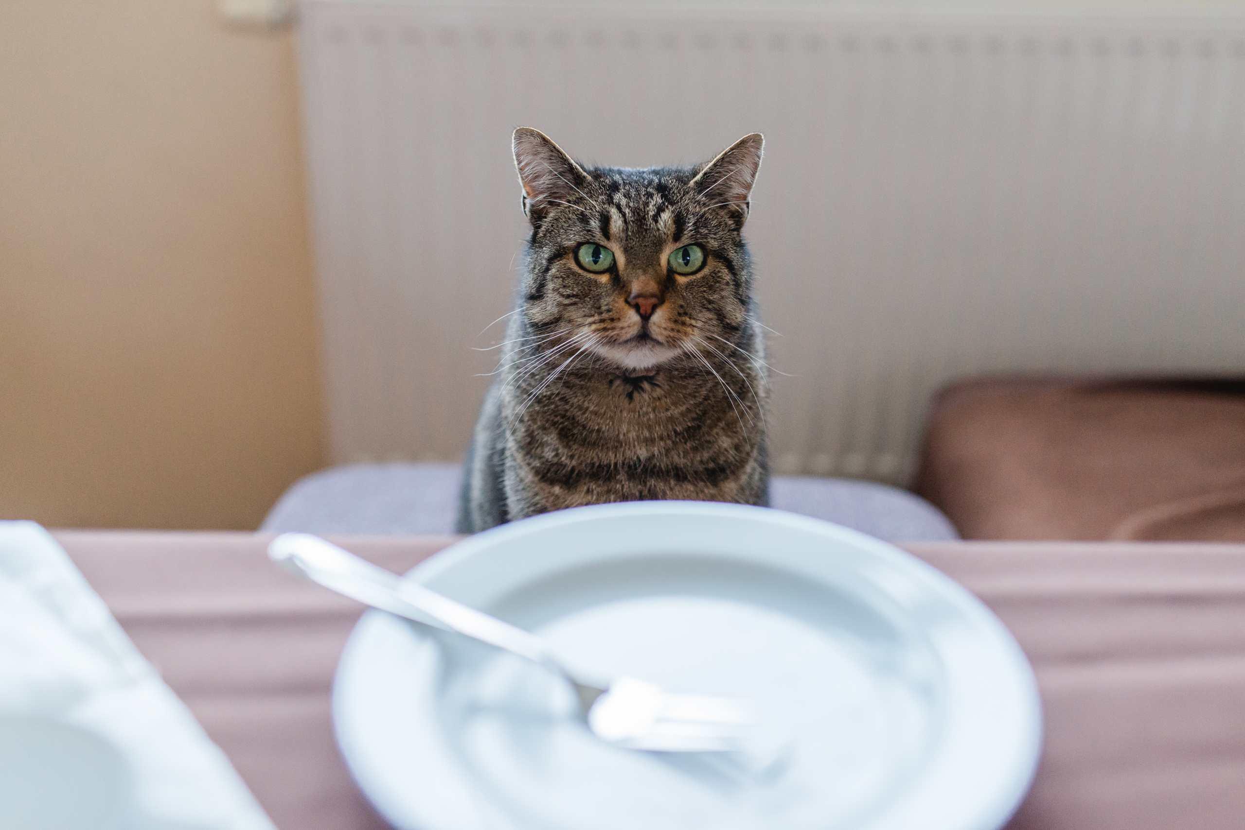 Katze sehnsuchtsvoll aufschauend vor leerem Teller mit Gabel darauf