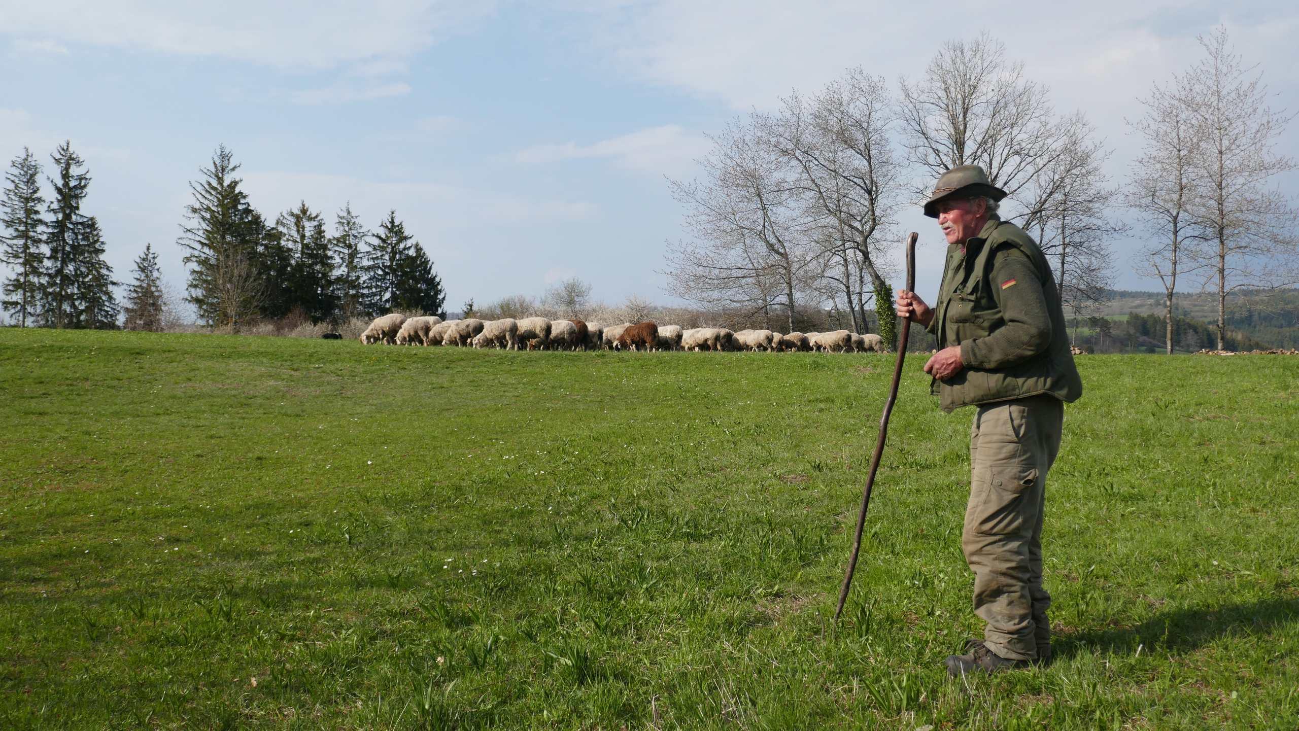 Schäfer, leicht gebeugt über seinem Stock, im Hintergrund seine Schafe