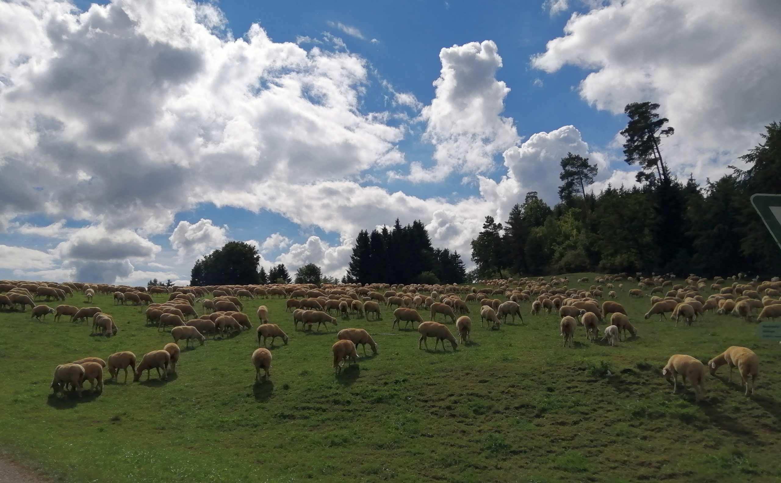 Blick über eine sehr große Schafherde
