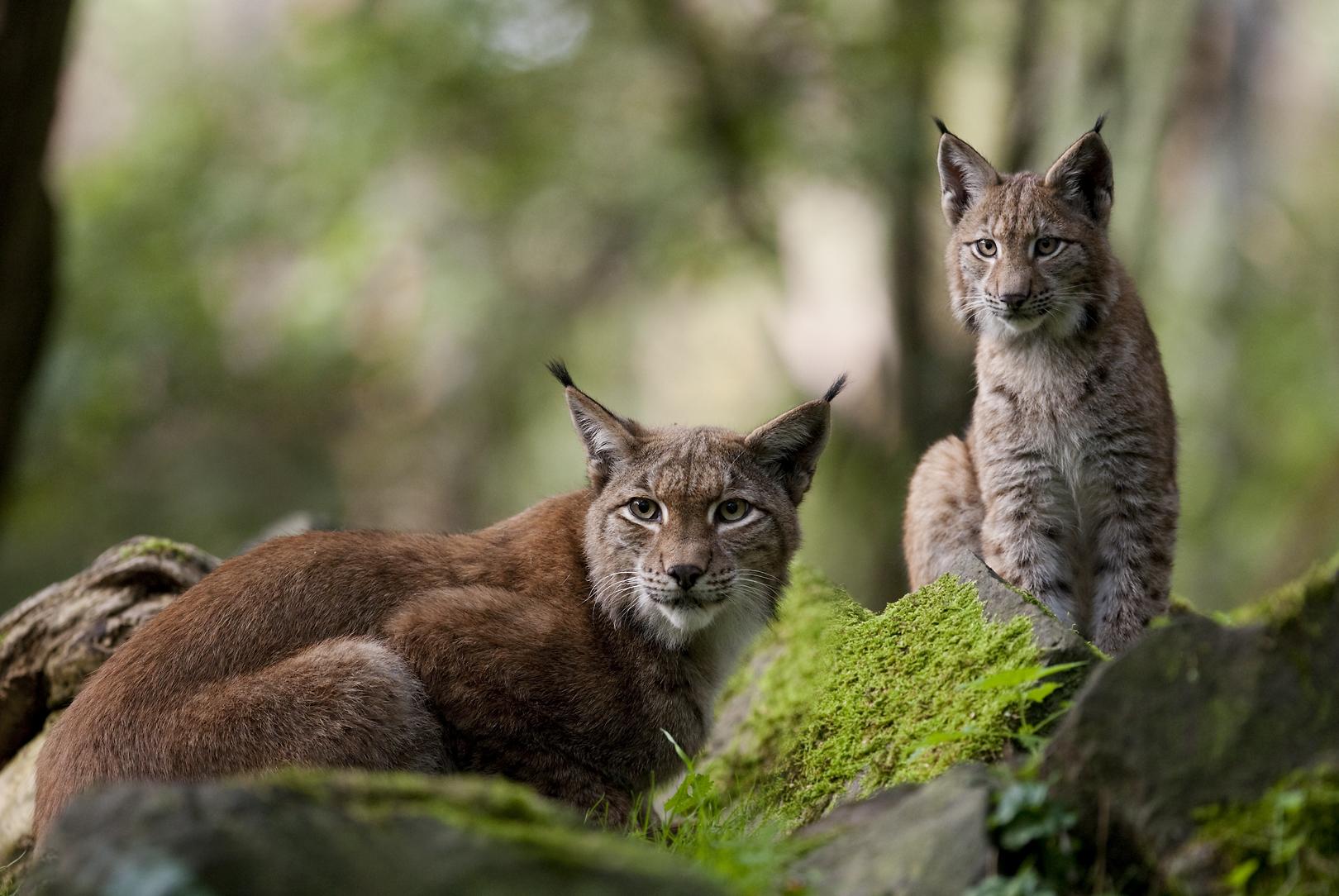 Zwei Luchse im Wald